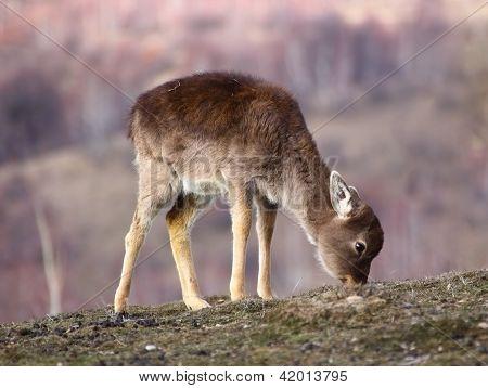 Fallow Deer Calf Grazing