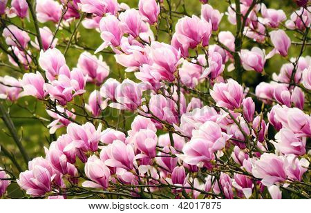Magnolia Blossoms On The Tree