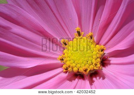 Cosmos Bipinnatus Cav Flowers