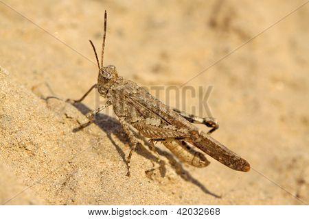 Warts Locust
