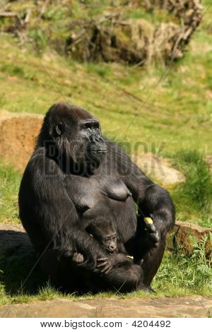 Mother Gorilla With Baby In Her Amrs