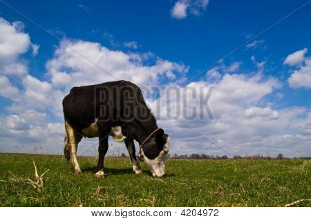 The Cow In Village