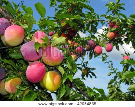 Ripe Plums On A Tree Branch