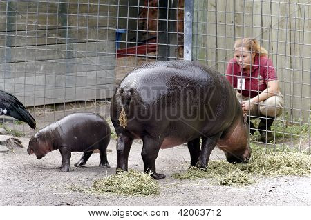 Baby Pygmy Hippopotamus Zola
