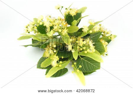 linden flowers isolated