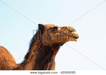 Single Brown Camel Head Shot