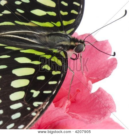 Graphium Agamemnon Butterfly