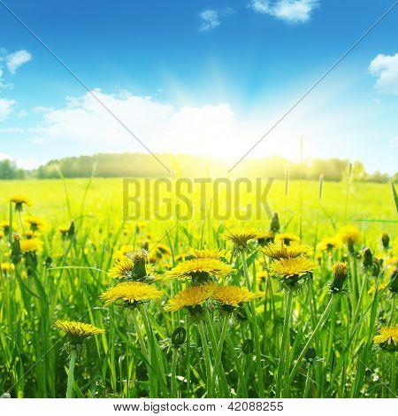 Campo de floradas dandelions, azul ky e brgiht sol.