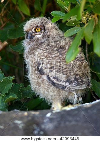 Young Spotted Eagle Owl