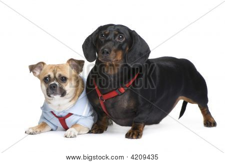 Couple Of A Dachshund And A Crossbreed