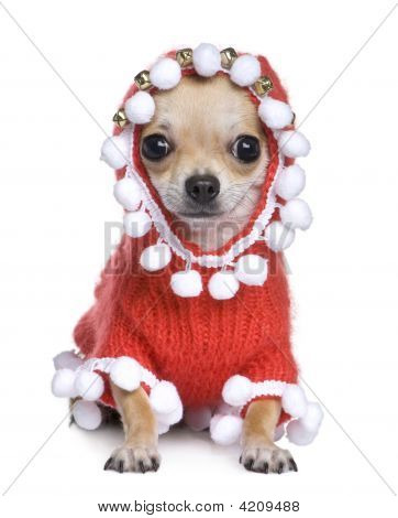 Chihuahua vestida como pai Crhistmas