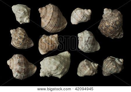 Set Of Sea Rapanas Black Isolated