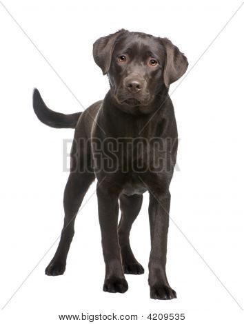 Labrador (8 Months)