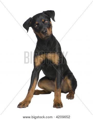 Rottweiler Puppy (6 Months)