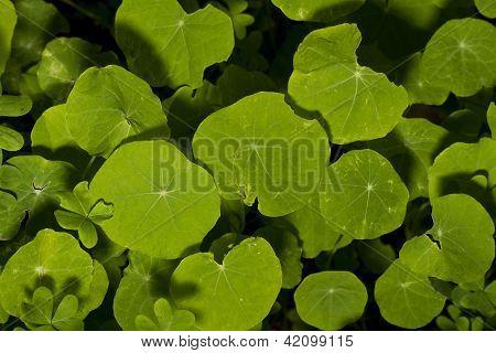 Orbicular Leaf Type Plants