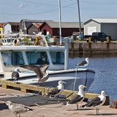 stock photo of lobster boat  - Seagulls on the wharf and lobster boats in rural Prince Edward Island - JPG