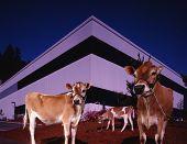 Постер, плакат: Коров перед современное здание
