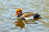 stock photo of crested duck  - Red crested duck  - JPG