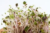 picture of soybean sprouts  - The healthy diet - JPG