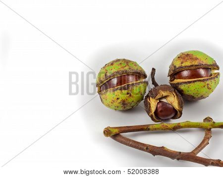Chestnut Face