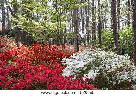 Multicolored Azaleas