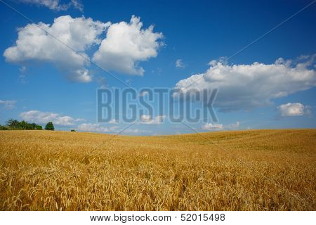 Landscape with grove and field of wheat