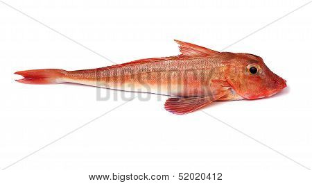 Red Gurnard Fish