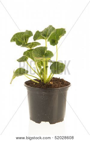 Plants of Common Hollyhock isolated over white background