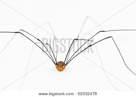 Close Up Of Harvestman 'spider'