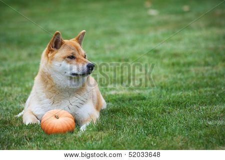 Dog With Pumpkin