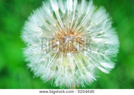 Dandelion against Green