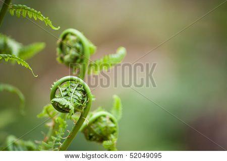 Spring Ferns Unfurl