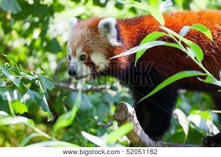 red panda lies on a tree branch