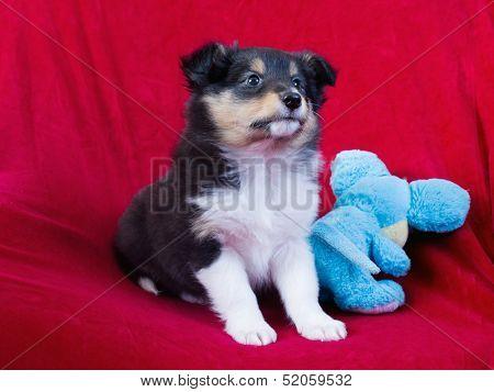 Little Puppy Shetland Sheepdog