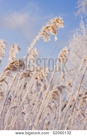 Frozen Reed Against Blue Sky