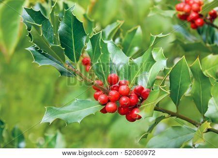 Holly Tree Branch