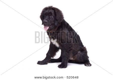 Filhote de cachorro de Newfoundland