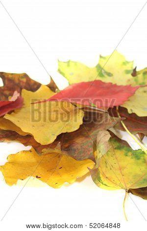 Decorative Autumn Leaves