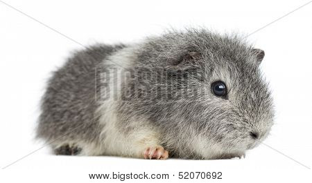 Swiss Teddy Guinea Pig, isolated on white