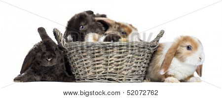 Group of Satin Mini Lop rabbits in a wicker basket, isolated on white