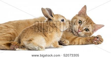 Cat and Rex dwarf rabbit, isolated on white