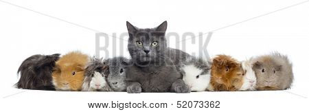 Guinea Pigs with a cat in a row, isolated on white