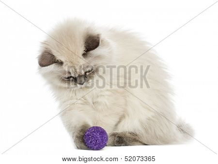 British Longhair kitten playing with a ball, 5 months old, isolated on white