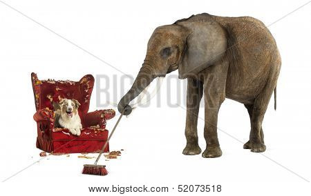 African elephant sweeping after a dog messed up an armchair, isolated on white
