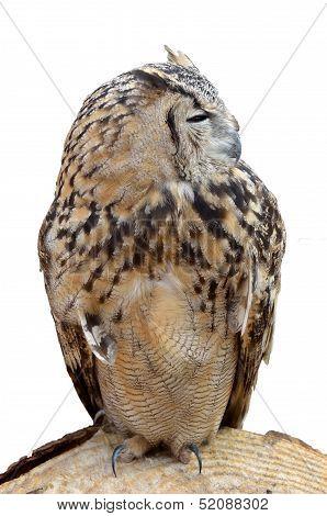 Adult Night Owl Predator