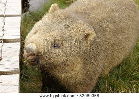 Wombat, Tasmania, Australia