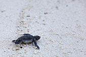 stock photo of green turtle  - Green Sea Turtle Hatchling making its first steps from the beach to the sea - JPG