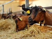 image of billy goat  - A billy goat in a pen looks at the camera - JPG
