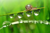 pic of garden snail  - Snail on dewy grass - JPG