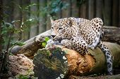 picture of panthera uncia  - Snow Leopard Irbis  - JPG